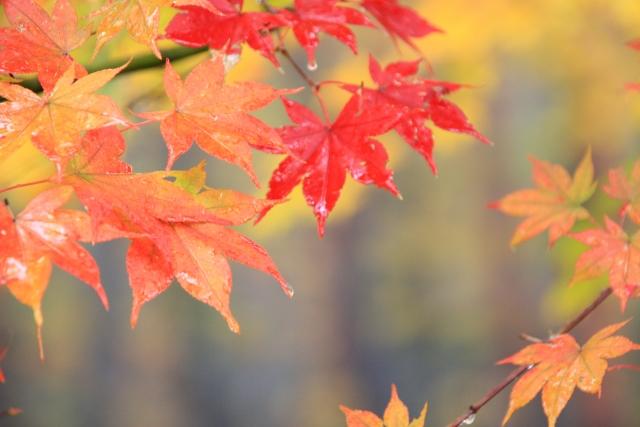 濡れた紅葉