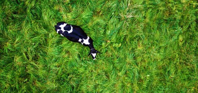 放牧中の牛をドローンで空撮