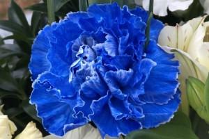青色のカーネション